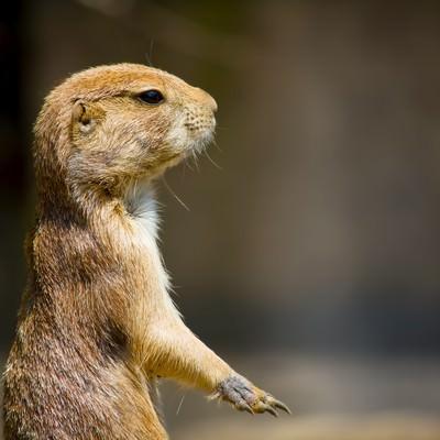 「立ち上がるプレーリードッグ」の写真素材