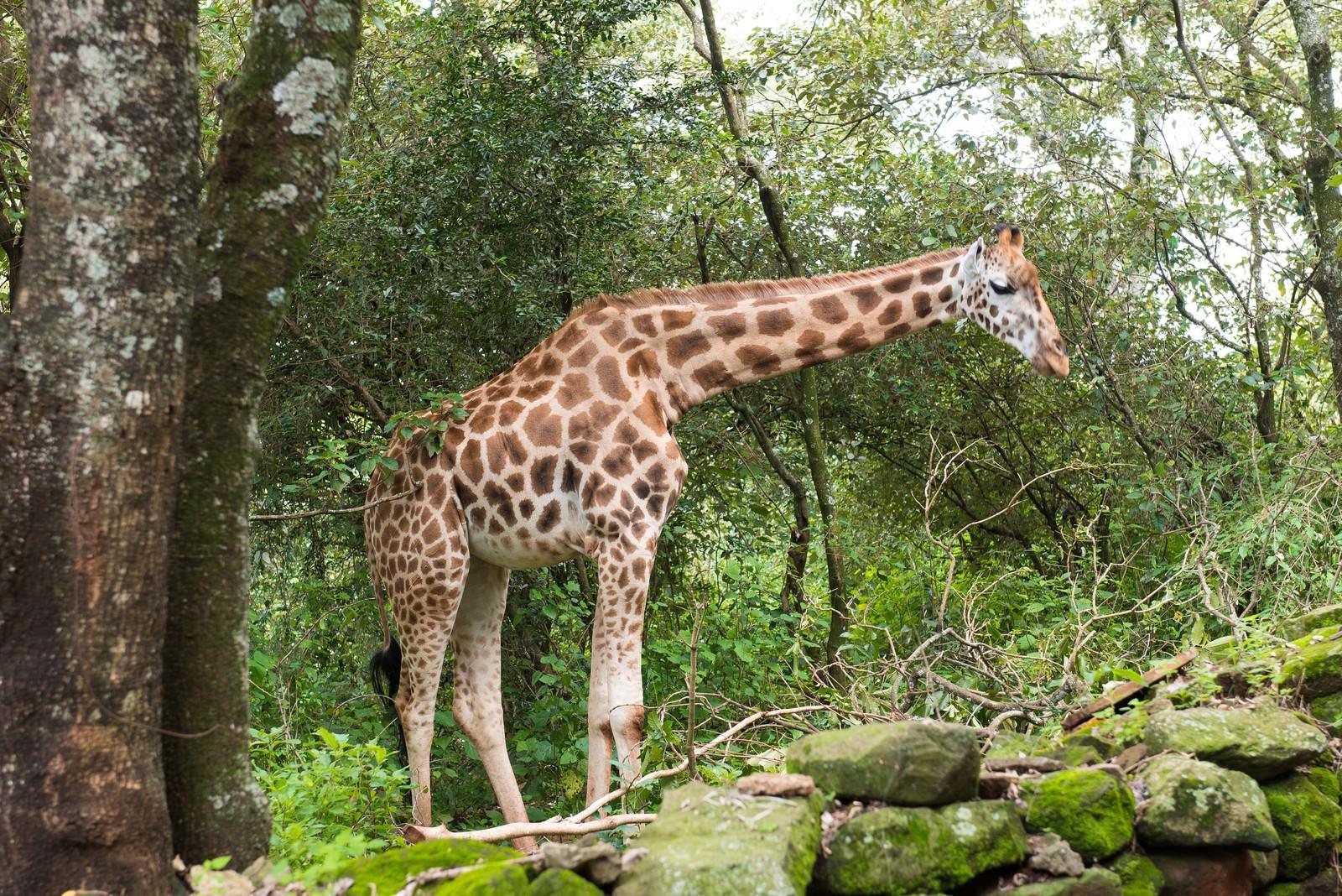 ジャングルに現れたキリンの写真を無料でダウンロード