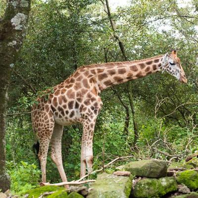 ジャングルに現れたキリンの写真