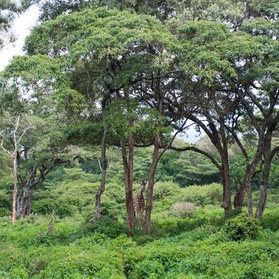 「森に迷い込んだキリン」の写真素材