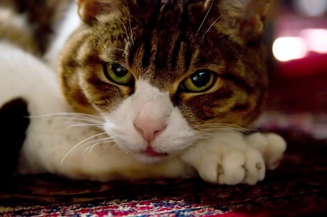 寝そべりながらこちらを見る猫の写真