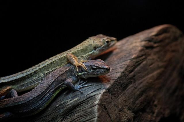 二匹のトカゲの写真