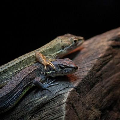 「二匹のトカゲ」の写真素材