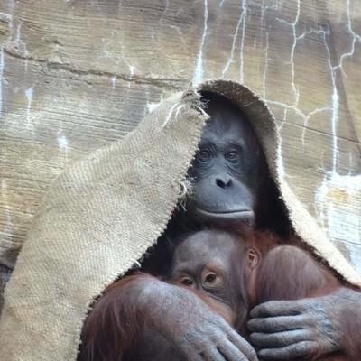 「布をかぶるオラウータン」の写真素材