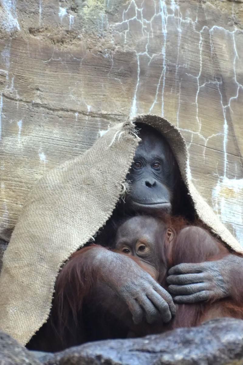 「布をかぶるオラウータン」の写真