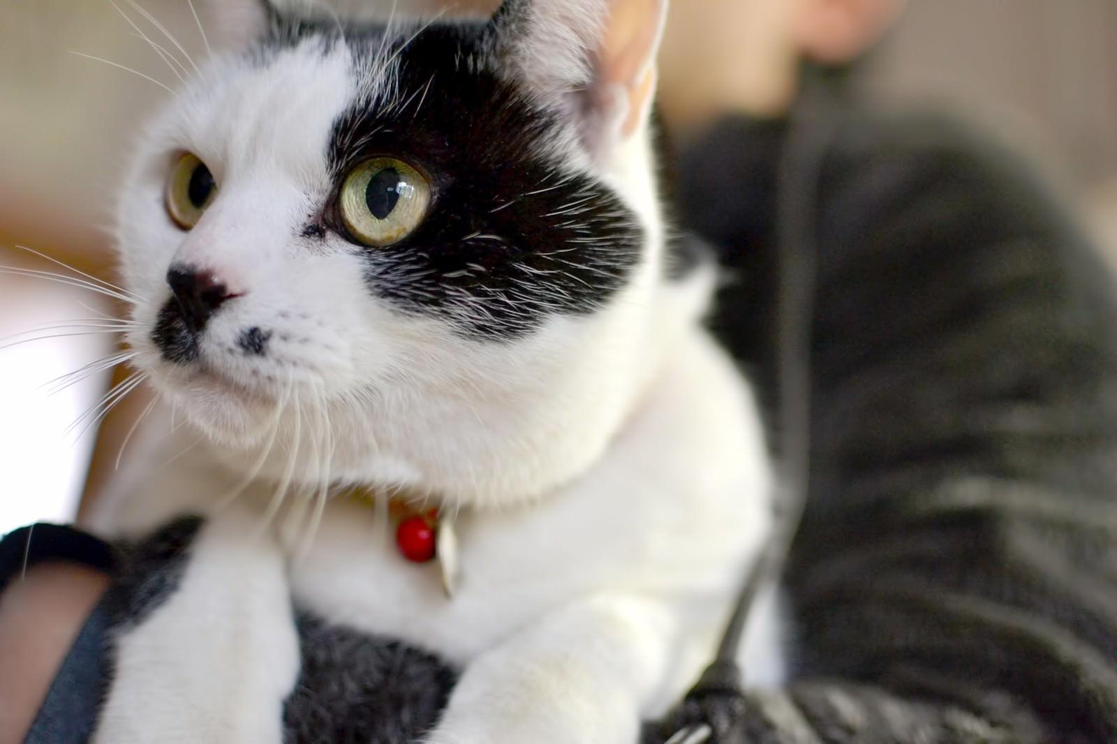 「抱っこされる猫抱っこされる猫」のフリー写真素材を拡大