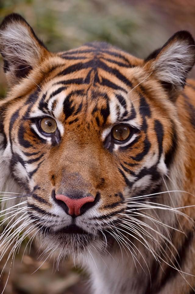 虎の顔の写真