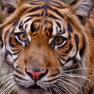 「虎の顔」の写真素材