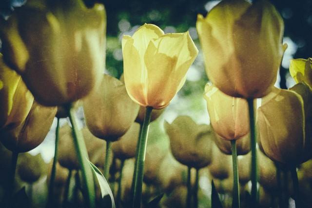 チューリップの花(ノイズ)の写真