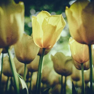 「チューリップの花(ノイズ)」の写真素材