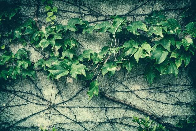 壁をつたう蔦の写真