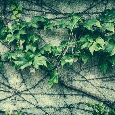 「壁をつたう蔦」の写真素材