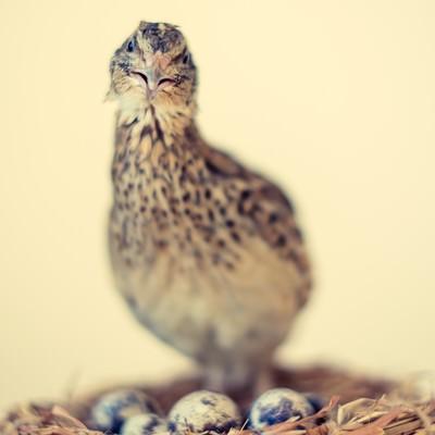 「産卵後のうずら」の写真素材