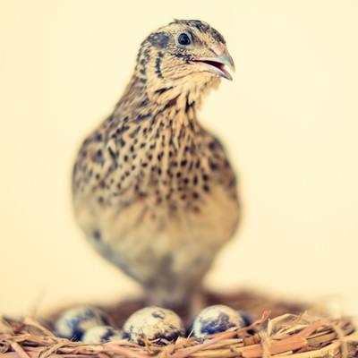 卵を守るうずらの親の写真