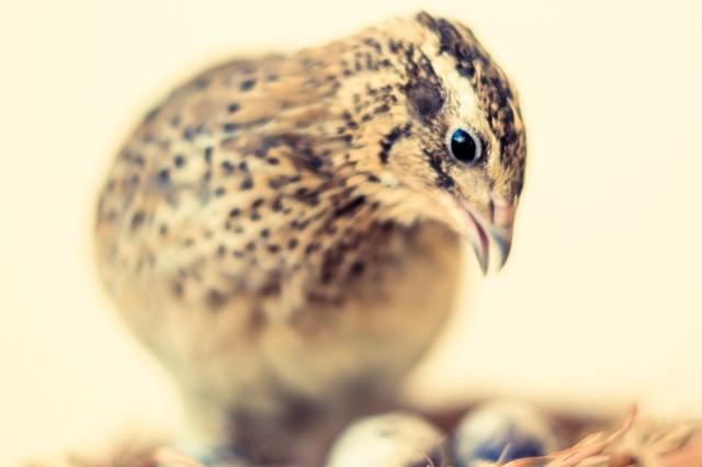 孵化を見守る親鳥(うずら)の写真