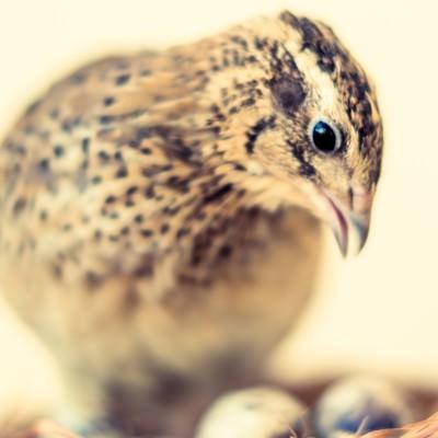 「孵化を見守る親鳥(うずら)」の写真素材