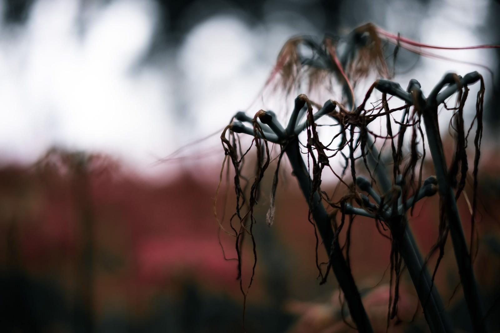 「枯れて散りゆく彼岸花」の写真