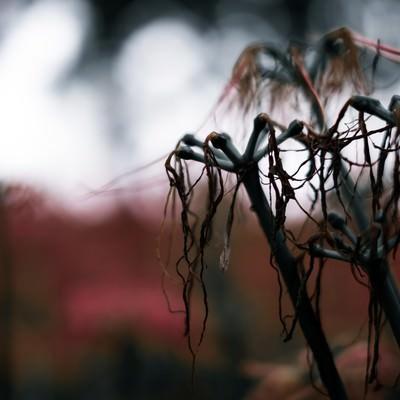 枯れて散りゆく彼岸花の写真