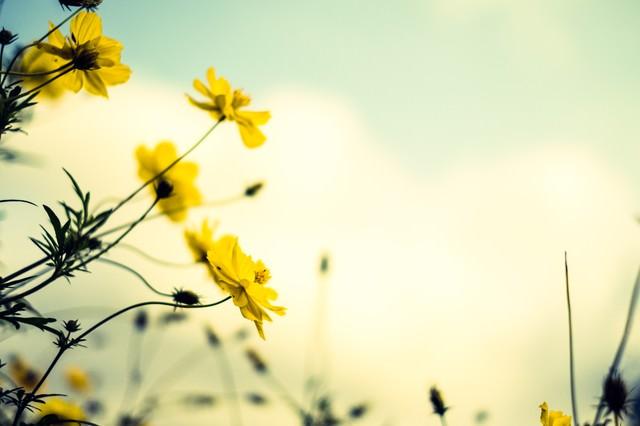 黄色いコスモスと褪せた空の写真