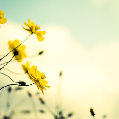 「黄色いコスモスと褪せた空」の写真素材