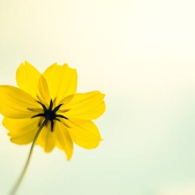 「黄色い秋桜」の写真素材