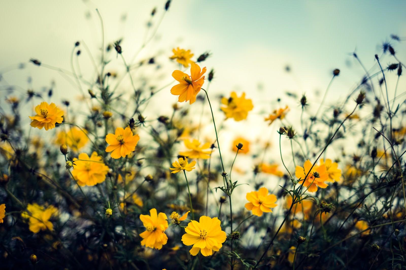 「秋を感じるコスモス」の写真