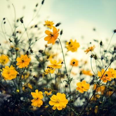 秋を感じるコスモスの写真