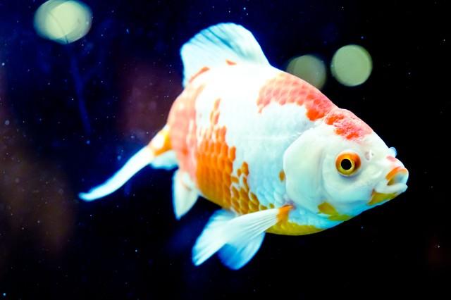 華麗な金魚の写真