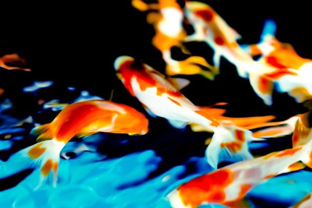 優雅に舞う金魚の写真