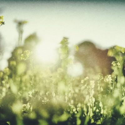 菜の花と温かい日差しの写真