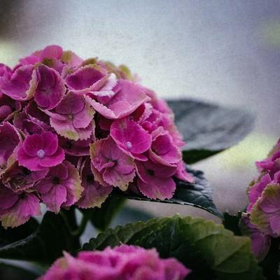 不安定な空とあじさいの花の写真