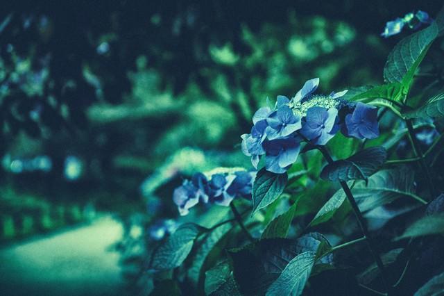 紫陽花が咲く季節(ノイズ)の写真