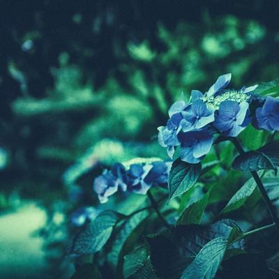 「紫陽花が咲く季節(ノイズ)」の写真素材