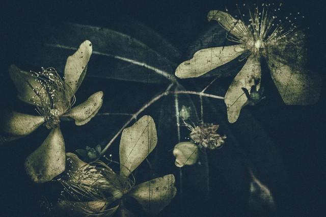 朽ちゆく花の寿命の写真