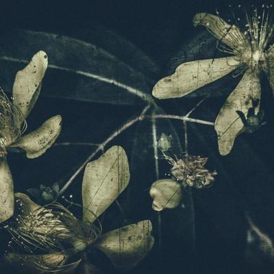 「朽ちゆく花の寿命」の写真素材