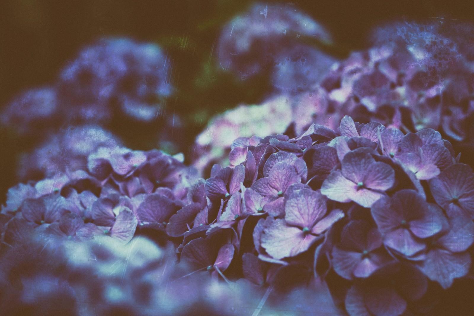 「ひしめき咲く紫陽花の花」の写真