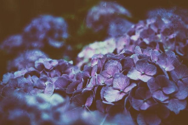 ひしめき咲く紫陽花の花