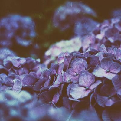「ひしめき咲く紫陽花の花」の写真素材
