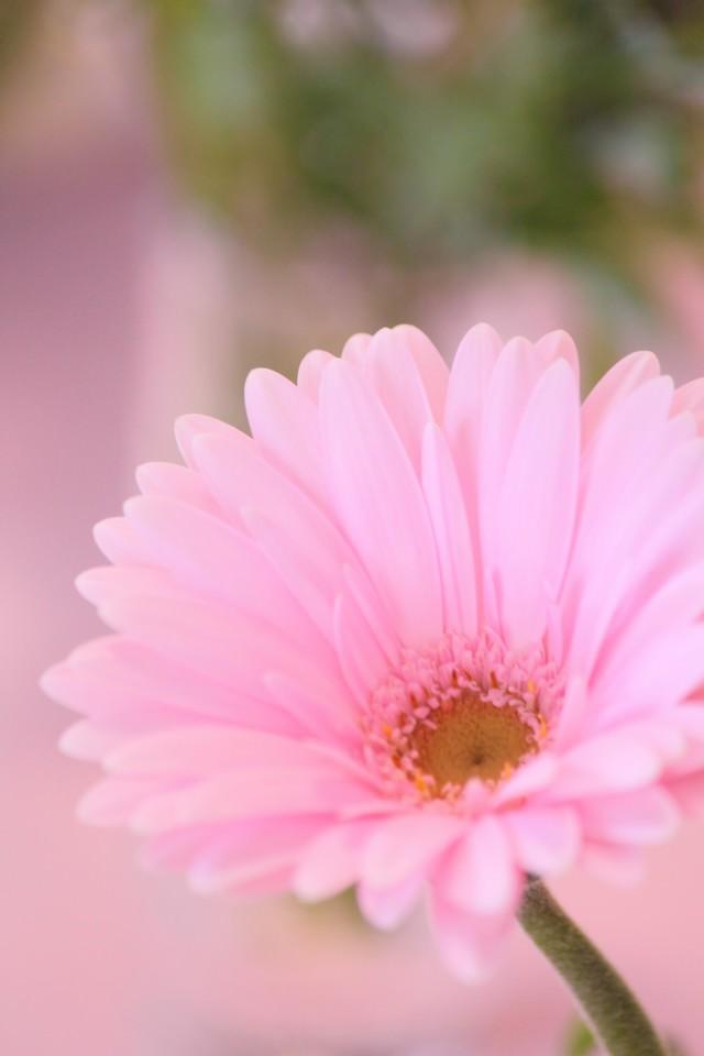花とピンク色のガーベラの写真
