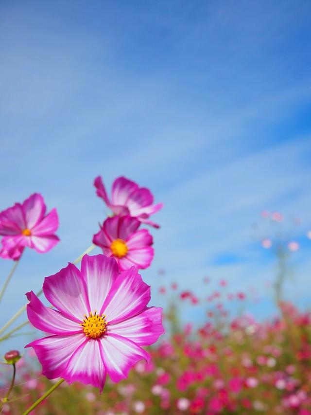 花とコスモスの写真