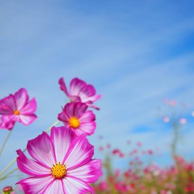 「花とコスモス」の写真素材