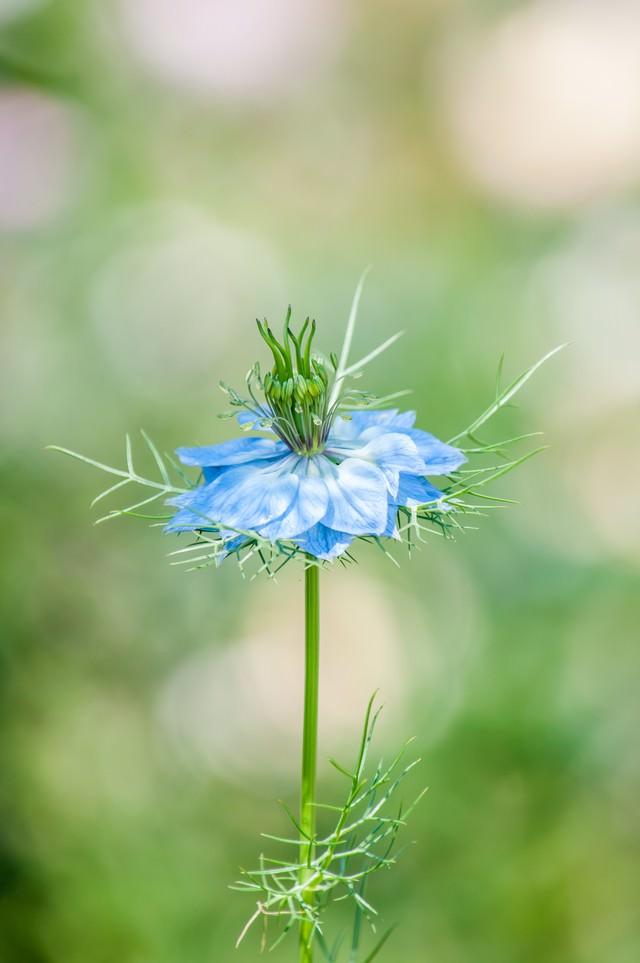 ニゲラの花の写真