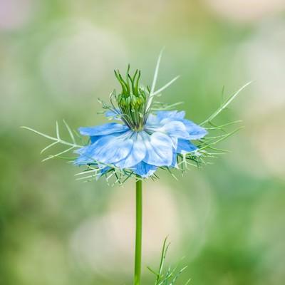 「ニゲラの花」の写真素材