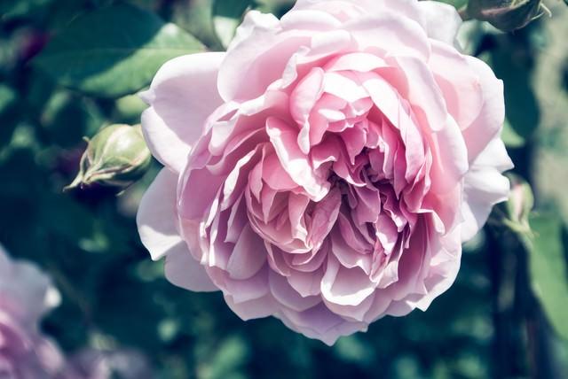 夢のなかで香る(バラ)の写真