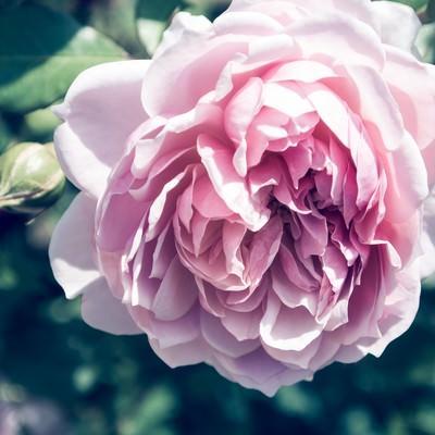 「夢のなかで香る(バラ)」の写真素材