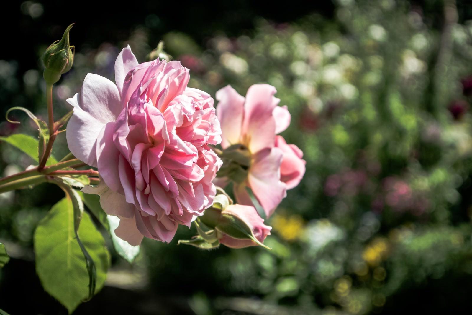 「風に揺れる(バラ)」の写真