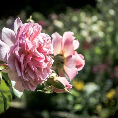 風に揺れる(バラ)の写真
