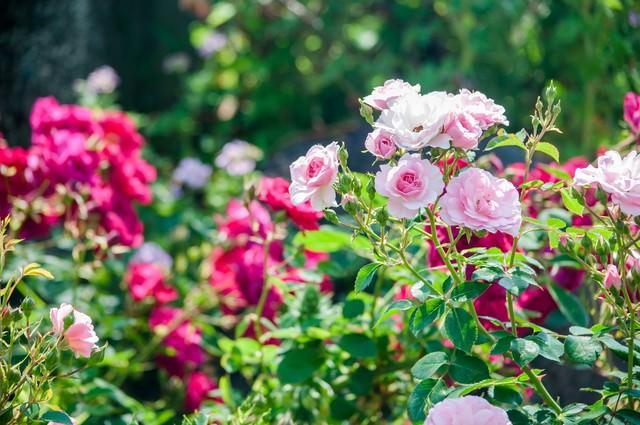 バラの咲く季節の写真