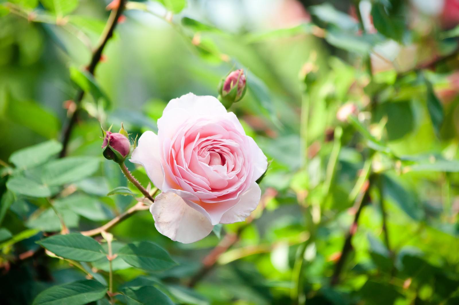 「朝の光とピンクのバラ」の写真