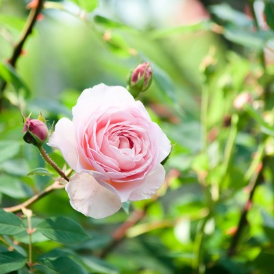 「朝の光とピンクのバラ」の写真素材